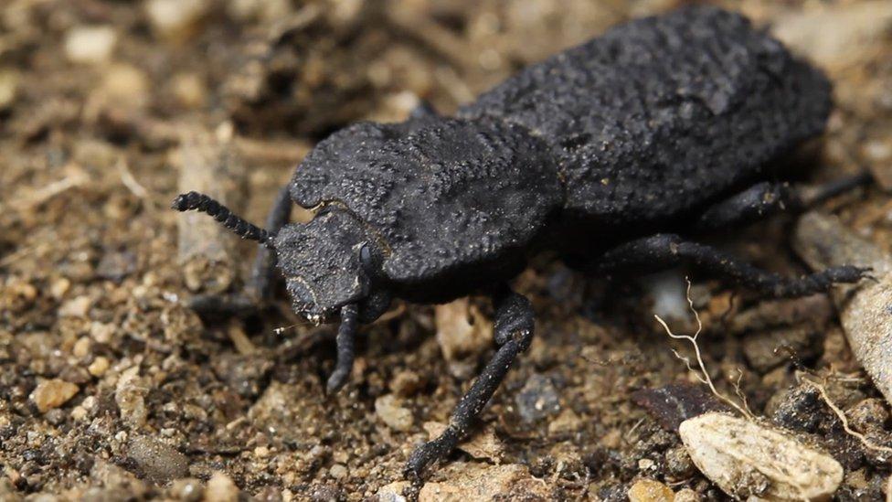 Rahasia kekuatan baju besi sang kumbang